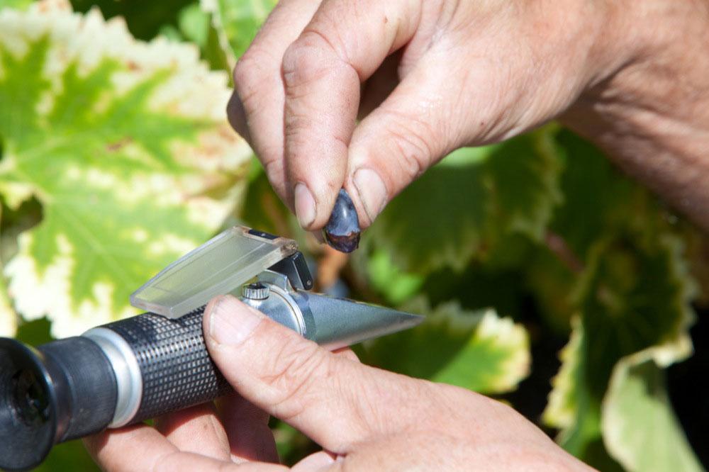 analyse baie de raisin à la vigne, refractomètre